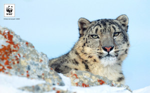 Uncia uncia     Snow leopard     Rocky Mountains in winter     Montana, United States of America     (A captive trained animal used for photography and filming)