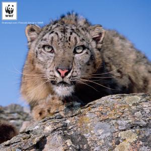 Snow leopard portrait {Panthera uncia} captive